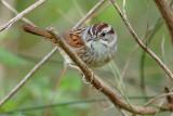 131-Melospiza-51-Swamp-Sparrow.jpg