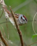 131-Melospiza-53-Swamp-Sparrow.jpg