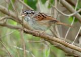 131-Melospiza-55-Swamp-Sparrow.jpg