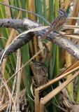 131-Melospiza-57-Swamp-Sparrow.jpg