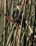 131-Melospiza-59-Swamp-Sparrow.jpg