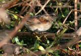 131-Melospiza-61-Swamp-Sparrow.jpg