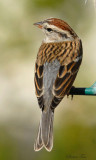 111-Spizella-22-Chipping-Sparrow.jpg