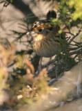 113-Ammodramus-14-Le-Contes-Sparrow.jpg