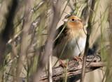 113-Ammodramus-16-Le-Contes-Sparrow.jpg
