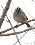 119-Zonotrichia-44-White-crowned-Sparrow.jpg