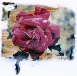 rosa-pollaroid 001.jpg