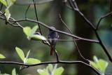 Kopciuszek  (Phoenicurus ochruros) Male