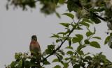 Makolągwa  (Linaria cannabina)