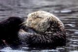 sea otter (loutre de mer)