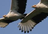 IMG_9426.Palmnut-vulture-12.12.07.jpg