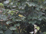 Yellow Warbler, Gul skogssångare, Dendroica petechia