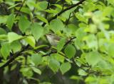 Arctic Warbler, Nordsångare, Phylloscopus borealis
