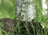 Lanceolared Warbler. Träskångare, Locustella lanceolata