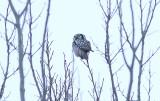 Northern Hawk Owl, Hökuggla, Sumia ulula