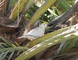 Barbary Dove, Skrattduva, Streptopelia risoria