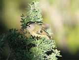 Canary Islands Kinglet,  Kungsfågel, Regulus regulus teneriffae
