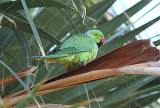 Rose-ringed Parakeet, Halsbandsparakit, Psittacula krameri