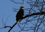 Skagit Eagles