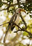 Yellow-billed Hornbill (Tockus flavirostris)