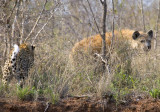Leopard Hyena Confrontation 2
