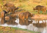 Cape Buffalo Bulls