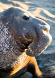 Elephant Seal Male