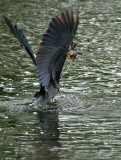 Grey Heron + Fish