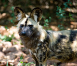 Wild Dog - De-Wildt Centre