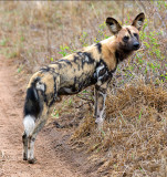 Wild Dog - Adult Male