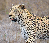Male Leopard Hunting
