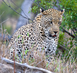 Male Leopard Hunting 3