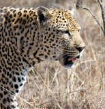 Male Leopard Hunting 2