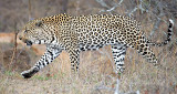 Male Leopard Hunting 4