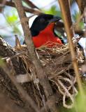 Crimson-breasted Shrike on nest