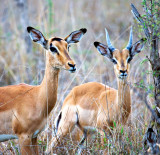 Impala Ewe + Ram