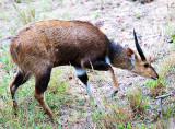 Bushbuck Juvenile Male