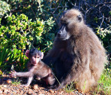 Chacma Baboon Mother + Baby
