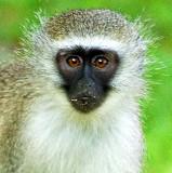 Vervet Monkey - Juvenile