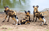 Wild Dog Pups at Waterhole