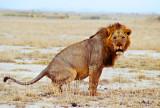 Amboseli Male