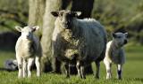 Cross-breed Ewe with twin lambs