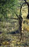 Male Gerenuk Browsing