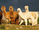 Alpacas (Vicugna pacos)