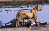 Lioness with Zebra