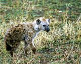 Spotted Hyena Juvenile