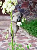 Hyrax Stealing Flowers