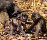 Baboons Babies