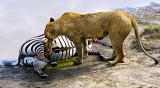 Lioness Feeding 4