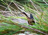 Reed Cormorant  (Phalacrocorax africanus)